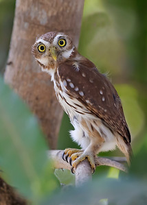 ferruginous pygmy owl, pantanal, brazil