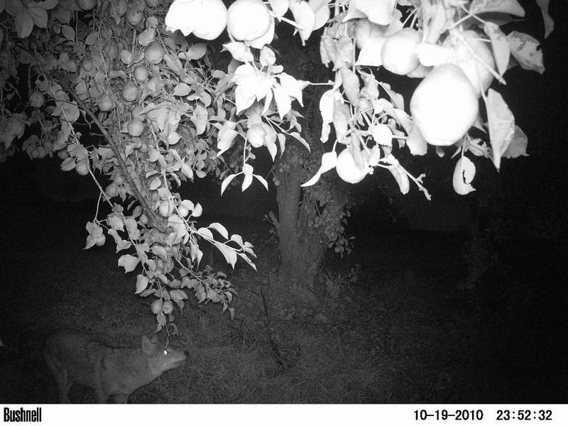 A coyote walks under a pear tree. Peculiar, Mo.