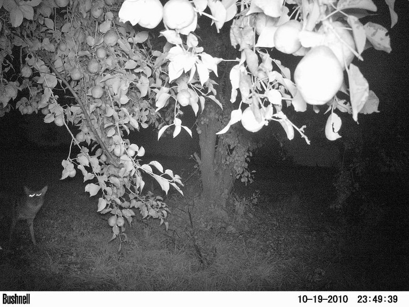 A coyote walks under a pear tree. Peculiar, Mo. A slow shutter speed used by the Critter Cam causes unusual blur with the coyote's eyes.