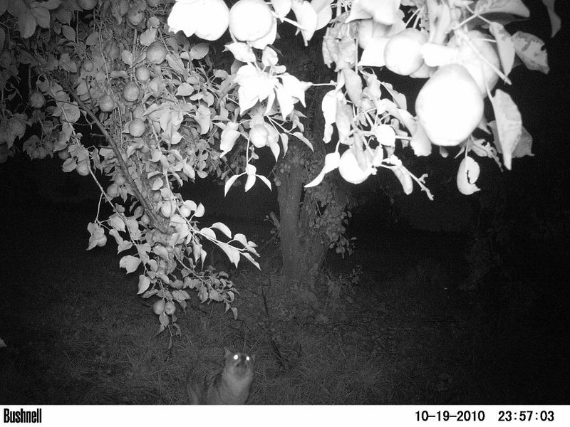 A coyote walks under a pear tree. Peculiar, Mo.
