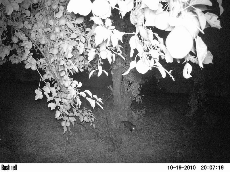 A possum walks under a pear tree. Peculiar, Mo.
