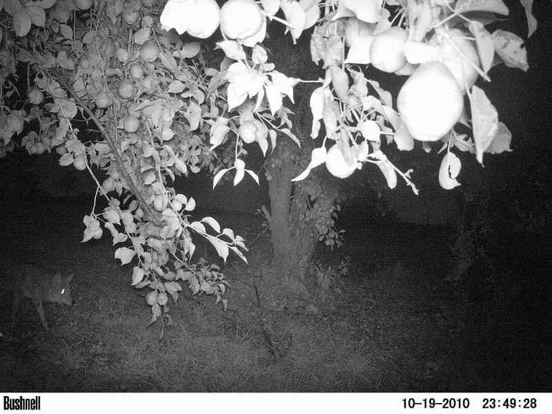 A coyote walks under a pear tree. I loaned my critter cam to a friend who lives in the country near Peculiar, Mo. <br /> Credit: Creative Critter Cam Pix by Lee Ward.