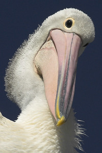 I'm a pelican, who the hell are you?