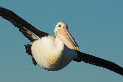OK, so there's now an ever increasing number of pelican photos in this gallery. Pretty soon I'm going to have to give them a gallery of their own. So, do I have a pelican fetish? Not that I'd admit to but I do think that they're pretty amazing birds......  A bit like an Airbus A380 with feathers.