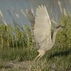 Night Heron Taking Off