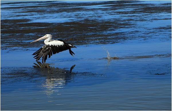Pelican (Australia)