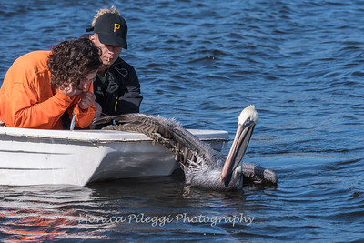 Pelican being rescued from a fishing line.