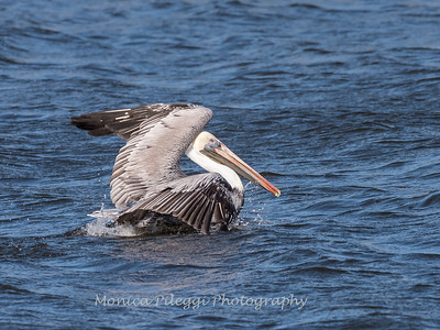 Pelicans January 2018-9891