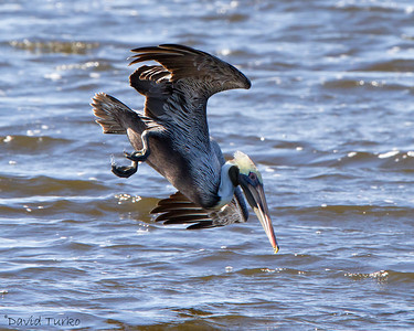 Brown Pelican,  Cocoa Beach Pier, Florida