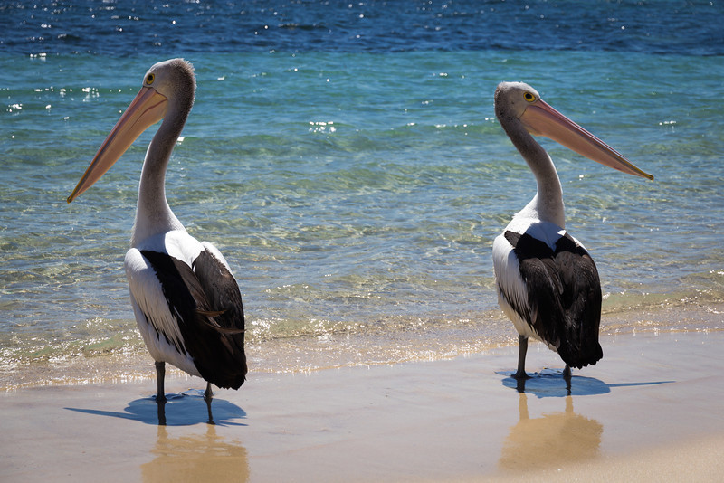 Pelicans at Shoal Bay, Port Stephens