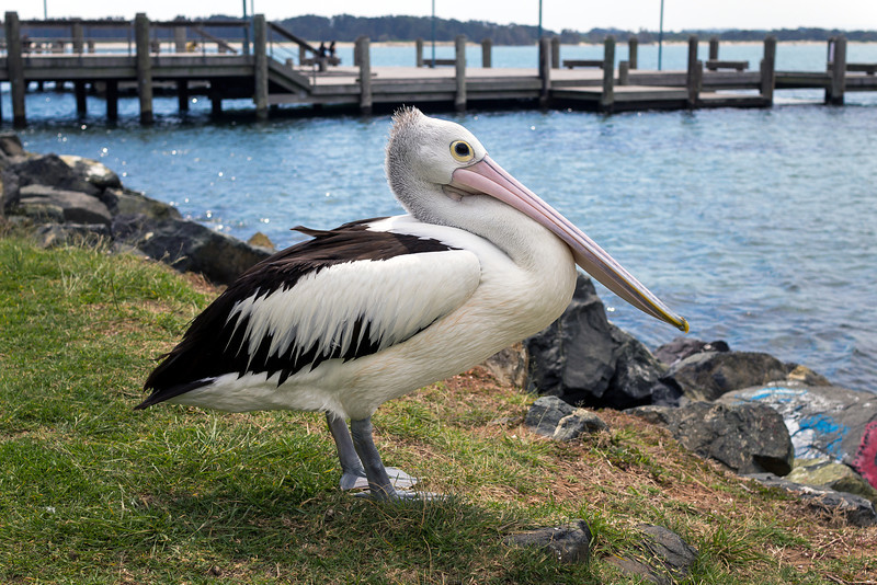 Pelican at Port Macquarie