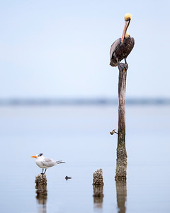 Brown Pelican & Least Tern
