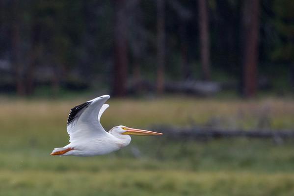 Pelican Rising II