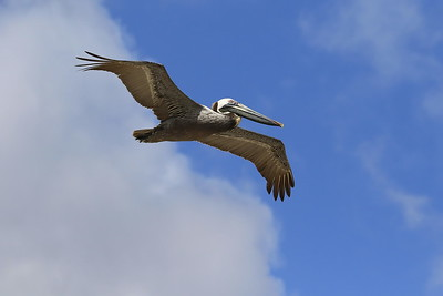 Brown Pelican soaring above the beach