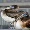 pelicans 112712  (7)_e
