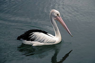 Pelican at Forster/Tuncurry