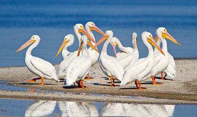 American White Pelican ~ Thousand Islands Cocoa Beach, Florida