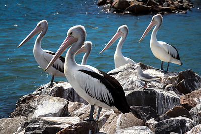 Pelicans at Stockton, Newcastle