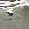 I panned this pelican near the spillway of Saylorville Dam in Ankeny, Iowa.