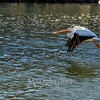 American Pelicans on the Des Moines River in Iowa