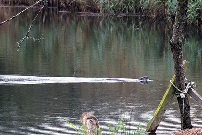 My first sighting of an otter in the wild - this one is a large dog otter. I was lucky to catch him on camera as he spent most of the time swimming like a torpedo under the surface!