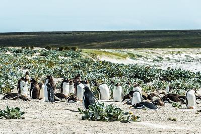 Gentoo Penguins