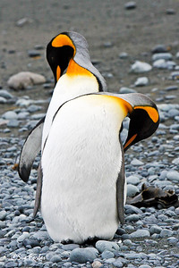 King Penguins King Penguins grooming on Australia's sub-antarctic Macquarie Island