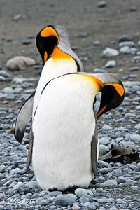 King Penguins King Penguins grooming on Australia's sub-antarctic Macquarie Island