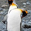 King Penguins<br /> King Penguins grooming on Australia's sub-antarctic Macquarie Island