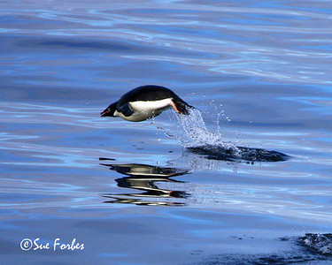 Porpoising Adelie Penguin Adelie Penguin porpoising through the Ross Sea, Antarctic