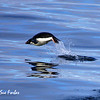 Porpoising Adelie Penguin<br /> Adelie Penguin porpoising through the Ross Sea, Antarctic