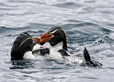 Hi! Snares Penguins greeting each other by New Zealands sub-antarctic Snares Island