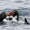 Hi!<br /> Snares Penguins greeting each other by New Zealands sub-antarctic Snares Island