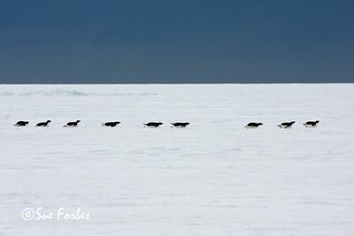 Efficient locomotion Adelie Penguins sliding across the Sea Ice, Ross Sea, Antarctica