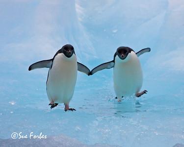 Adelie penguin ice dance