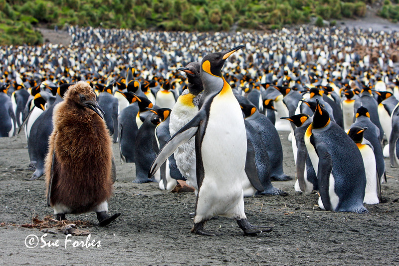 Adult & Adolescent King Penguins<br /> Adult and adolescent King Penguins on Macquarie Island, one Australia's sub-Antarctic islands.