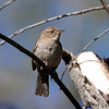 House Wren<br /> Boulder County, Colorado<br /> Sawhill Ponds