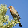 House Finch<br /> Boulder County, Colorado