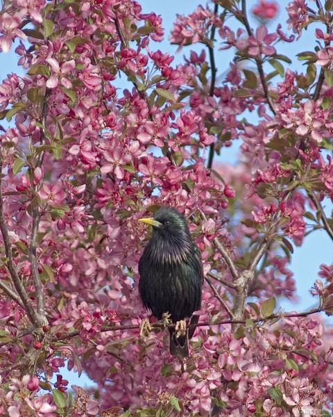 European Starling<br /> Boulder County, Colorado