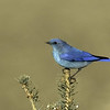 Mountain Bluebird<br /> Boulder County