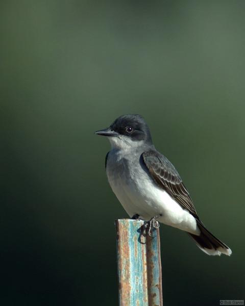 Eastern King Bird<br /> Boulder County, USA