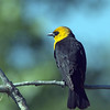 Yellow-headed Blackbird<br /> <br /> Sawhill Ponds, Boulder County