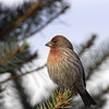 House Finch<br /> Boulder County, Colorado<br /> #37