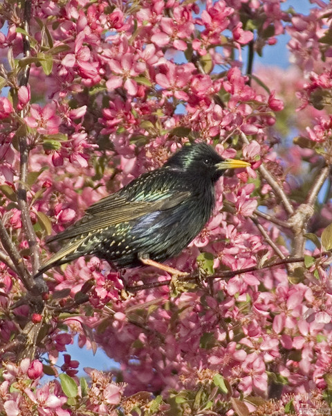 European Starling<br /> Boulder County, Colorado