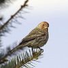 House Finch<br /> Boulder County, Colorado<br /> #38