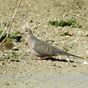 Mourning Dove<br /> Boulder County, Colorado