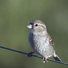 American Tree Sparrow<br /> Boulder County, Colorado<br /> #33
