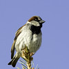 House Sparrow<br /> Boulder County, Colorado