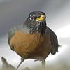 American Robin<br /> Boulder County, Colorado