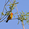Western Tanager<br /> Boulder County, Colorado<br /> Sawhill Ponds